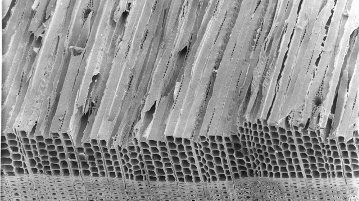 Electron microscopy of a spruce wood sample